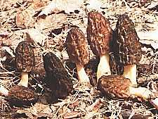 Morchella conica lub elata - Smardz wyniosły lub stożkowaty